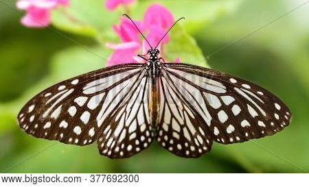 gracious black and white butterfly spreading its wings on a pink flower, this beautiful and fragile insect is a lepidoptera, nature scene in a tropical botanical garden of Chiang Mai, Thailand