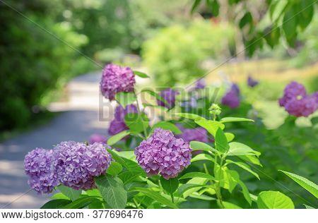 Hydrangea Macrophylla - Beautiful Bush Of Hydrangea Flowers In A Green Summer Garden