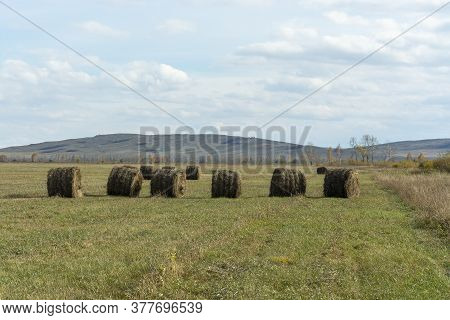 Round Bales Of Hay. Rolls Of Dry Hay Lie In The Field.