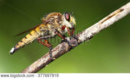 Hairy Dragonfly In The Jungle, Koh Lanta,, Thailand