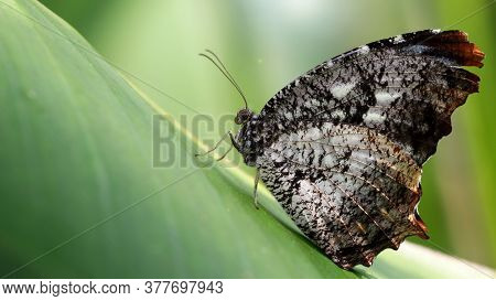 gorgeous black and white butterfly resting on a leaf, macro photography of this gracious and fragile Lepidoptera insect, nature scene in a tropical botanical garden, Chiang Mai, thailand
