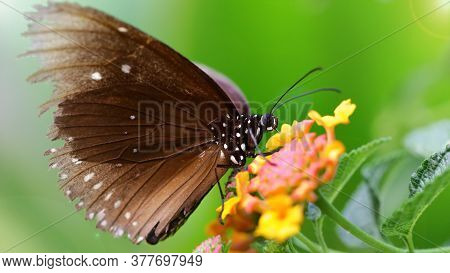brown butterfly looking for pollen on colorful flowers, macro photo of this gracious and fragile Lepidoptera in a tropical botanical garden, Chiang Mai, thailand