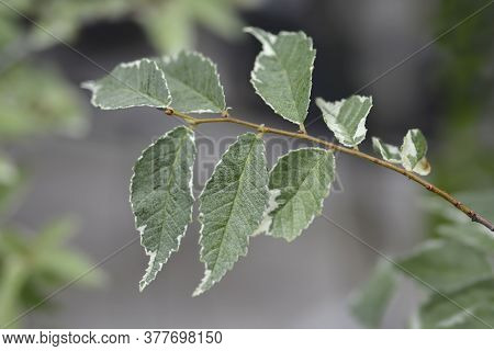 Small-leaved Elm Silvery Gem Branch - Latin Name - Ulmus Minor Silvery Gem