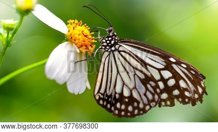 black and white butterfly looking for pollen on a daisy flower, macro photo of this gracious and fragile Lepidoptera in a tropical botanical garden, Chiang Mai, Thailand