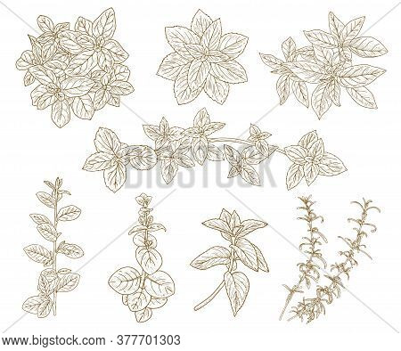 Sketch Herbs Set. Herbs And Spices Sketch Set. Culinary And Medicinal Plants Vector Illustration In
