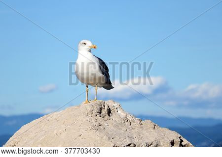 A Sea Gull Stands On A Stone On A Sunny Day