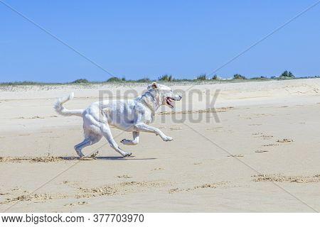 Brown Estrela Mountain Dog Runs At The Closed Beach Under Clear Sky  Due To Corona Shutdown