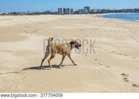 Brown Estrela Mountain Dog Rests At The Beach Under Clear Sky At Closed Beach Due To Corona Shutdown