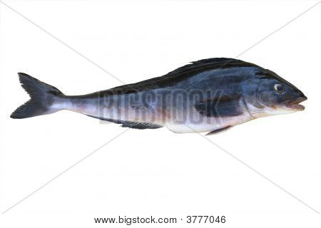 isolated blue fish (greenling - any scorpaenoid food fish of the family Hexagrammidae of the North Pacific Ocean) clipping path included poster