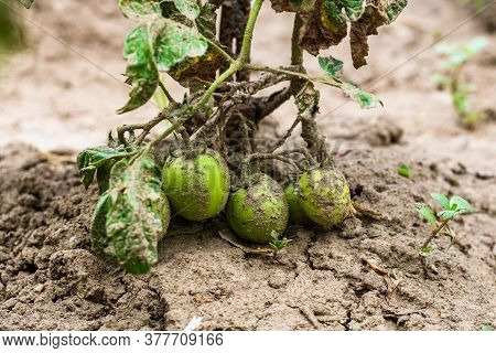 Dirty Unripe Tomatoes Growing In Rural Garden . Home Gardening Of Plants That Suffers From Severe Dr