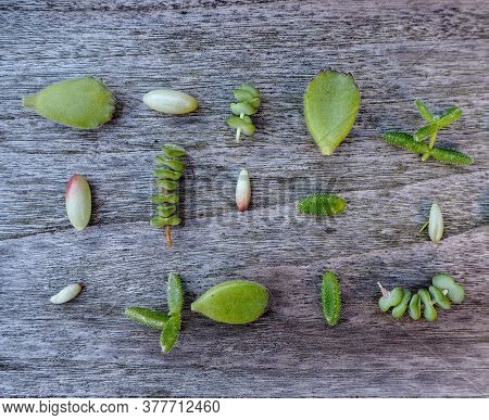 Variety Of Multiple Green Succulent Leaves ( Crassula, Sedum, Cotyledon, ...) Ready To Be Propagated