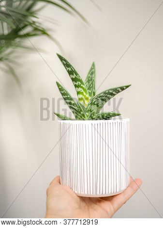 Hand Holding A Aloe Variegata In A Striped Pot Against A White Background