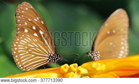 two butterflies facing each other like in a mirror on a yellow flower, macro photography of this elegant and delicate lepidoptera in a tropical botanical garden, Chiang Mai, Thailand