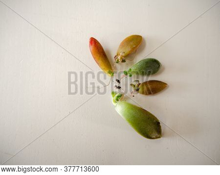 Variety Of 5 Different Succulent Leaves With Roots And Offsets In Multiple Colors On A White Wooden