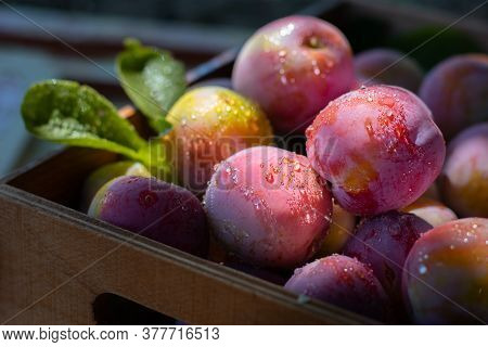 Fresh plums in wooden box, drops on fruit. Pink pulm with leaves, close shot. Food fruit Background. Summer postcard. Harvesting in the garden. Harvest of plum