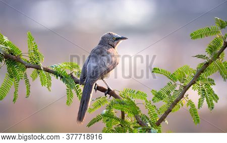 The Large Grey Babbler Is A Member Of The Family Leiothrichidae Found Across India And Far Western N