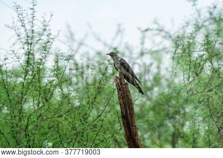 Eurasian Cuckoo Or Common Cuckoo Or Cuculus Canorus Portrait Perched In Green Background At Jhalana