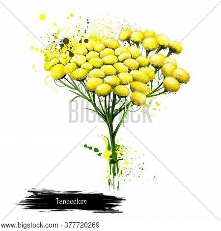Tansy Tanacetum Vulgare Bitter Buttons With Brush Splashes. Cow Bitter, Or Golden Buttons. Hand Draw