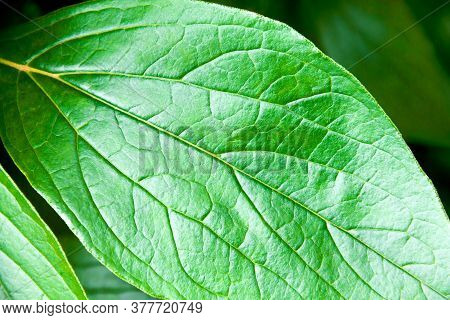 Peony Leaf Close Up. Contrast Image. Detailed Plant Texture. Solar Glare Underlines The Texture Of T