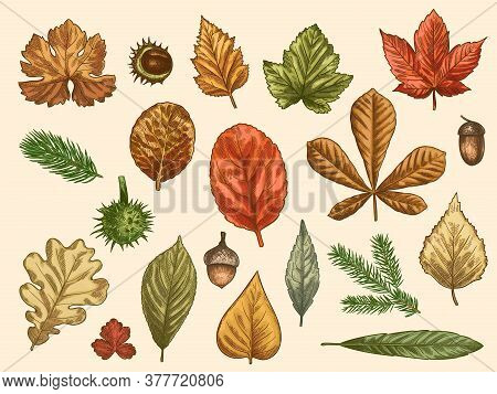 Hand Drawn Autumn Leaves. Color Falling Forest Foliage, October Oak, Acorn And Chestnut, Maple Leaf