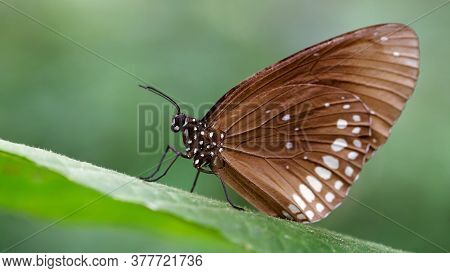 brown monarch butterfly on leaf, macro photo of this elegant and delicate Lepidoptera, nature scene in a tropical botanical garden in Chiang Mai, Thailand