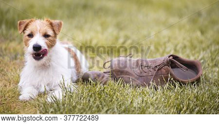 Naughty Cute Happy Jack Russell Terrier Pet Dog Puppy Lying In The Grass With Chewed Shoes And And L