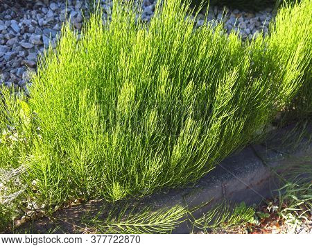 Bright Green Horsetail For A Natural Background