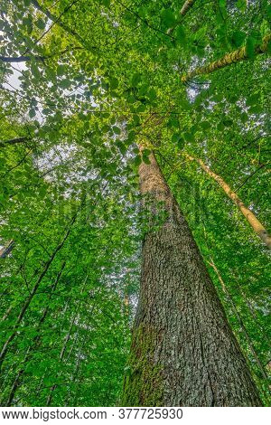 Tall Silver Fir Trunk Covered By Beech Leaves, In A Mixed Primeval Forest Area, Called Mittelsteighu