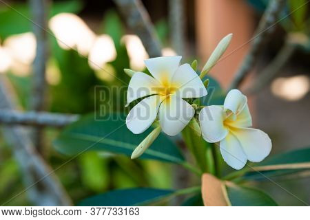 Blooming White Frangipani Flower In A Tropical Garden