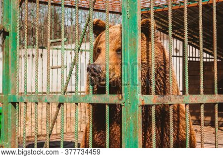 A Brown Bear Gazes Dreamily Through The Bars Of A Zoo Cage. Care For Wild Animals In A Veterinary Ho
