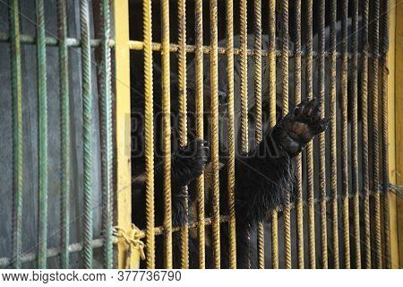 The Bear Stuck Its Paw Through The Bars From The Cage. Wild Animal In Captivity. The Bear Is Locked