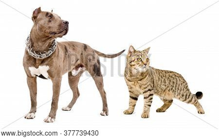 Dog Breed Pitbull And Cat Scottish Straight Standing Together Isolated On White Background