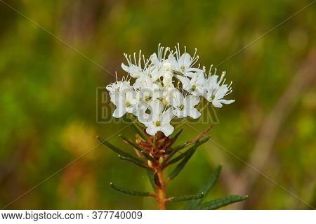 Flowering Rhododendron Tomentosum -  Known As Marsh Labrador Tea, Northern Labrador Tea Or Wild Rose