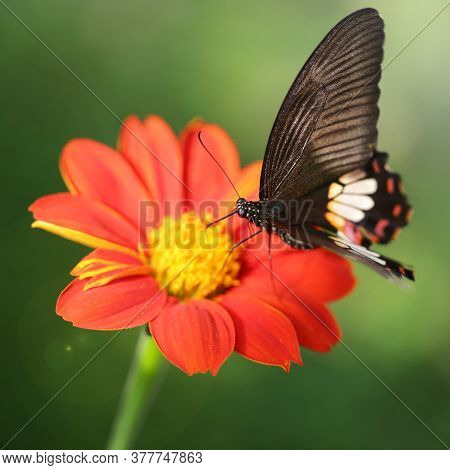black butterfly flying over a red flower looking for pollen, this elegant and fragile insect from the Lepidoptera family has fast wings like a humming-bird, botanical garden in Chiang Mai, Thailand