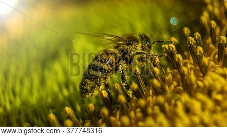 A Bee While Collecting Pollen From Sunflower Blossom. Hairs On Bee Are Covered In Yellow Pollen As A
