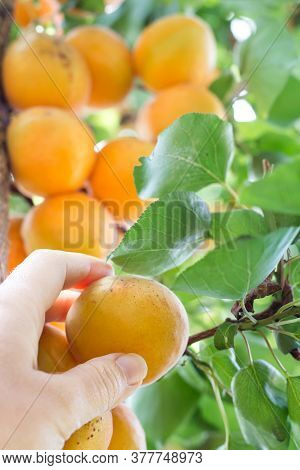Woman Hand Picking Ripe Apricot From Tree On Organic  Plantation. Untreated Fruit, Close Up. Healthy