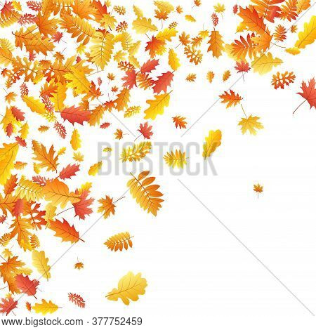 Oak, Maple, Wild Ash Rowan Leaves Vector, Autumn Foliage On White Background. Red Gold Yellow Oak Dr