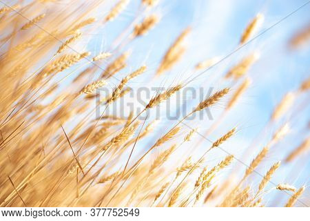 Stalks With Ripe Wheat Grains Obliquely Against A Blue Sky, Yellow Ears Of Bread In Autumn, Harvesti