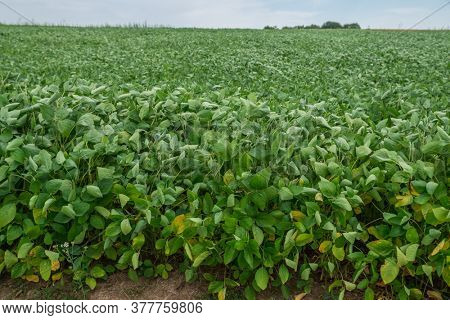 Agriculture field of bean plant. Green stalks close up.