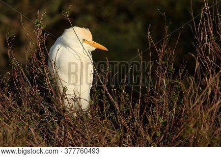 Cattle Egret Hiding In The Undergrowth In The Camargue, France.