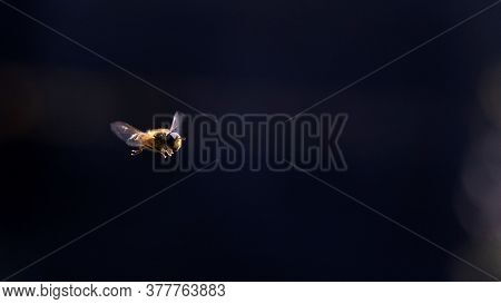A Portrait Of A Bee Hovering In The Air Looking Around For A Place To Find Some Nectar To Collect An