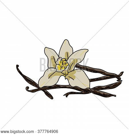 Vanilla Flower Vector Hand Draw Illustration For Design And Creativity