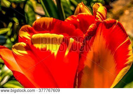 Red Yellow Spring Banja Luka Darwin Hybrid Tulip Blooming Macro.  Named After City In Bosnia, Tulips