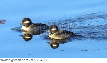 Female Bufflehead Ducks Bucephala Albeola Juanita Bay Park Lake Washington Kirkland Washiington. Nat