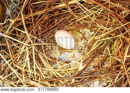 Close Up Of One Dove Egg On The Nest. Columba Livia Domestica Species. Peace And Love And Easter Con