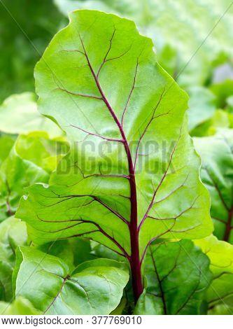 Beet Leaves. Beetroot Leaves; Fresh Beet Leaf. Close Up Beet Growing In The Garden. Closeup Leaf.