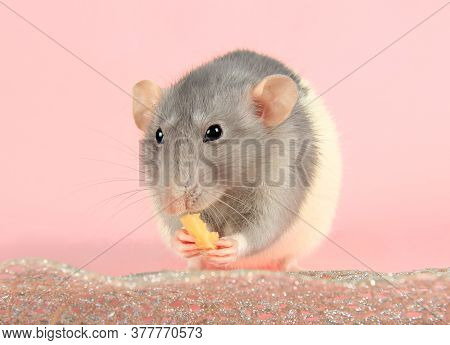 A Mouse Or A Domestic Gray Rat Holds Cheese In Its Paws And Eats It. Eating Cheese On A Pink Backgro