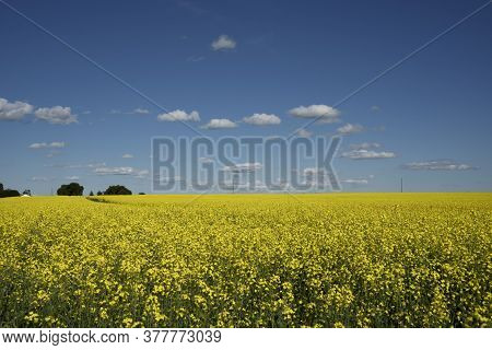 Canola field in blossom on the Canadian prairies in Rocky View County Alberta.