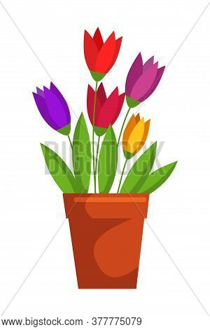 Colorful Blooming Tulip Flower In Clay Pot Isolated On White Background. Decorative Room Spring Flow