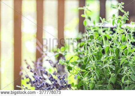 Green Oregano Plant, Closeup. Aromatic Herbs In Pots. Set Of Culinary Herbs, Oregano With Lavender.